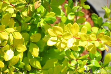 Berberis media 'Dual Jewel' (Berberys pośredni)  - C3