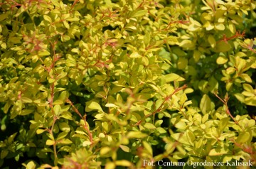 Berberis thunbergii 'Golden Dream' (Berberys Thunberga)  - C2