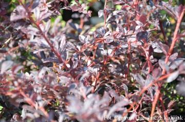 Berberis thunbergii 'Red Chief' (Berberys Thunberga) - C3