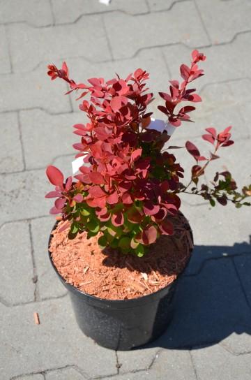 Berberis thunbergii 'Red Compact' (Berberys Thunberga) - C3