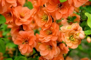Chaenomeles x superba 'Orange Trail'
