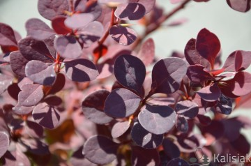 Berberis thunbergii 'Summer Chocolate' (Berberys Thunberga)  - C3
