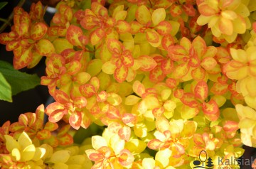 Berberis thunbergii 'Summer Sunset' (Berberys Thunberga)  - C3