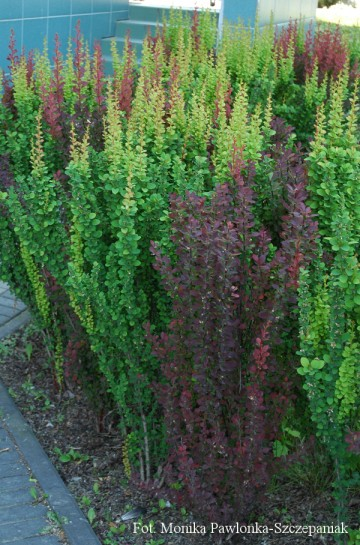 Berberis thunbergii 'Red Pillar' (Berberys Thunberga)  - C3