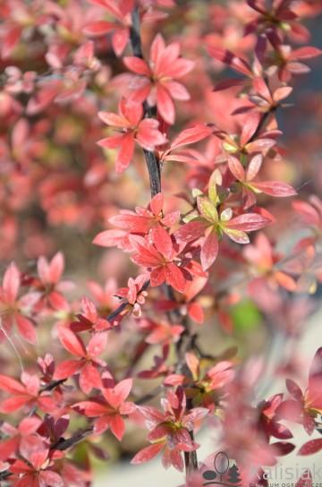 Berberis thunbergii 'Red Dream' (Berberys Thunberga) - C5