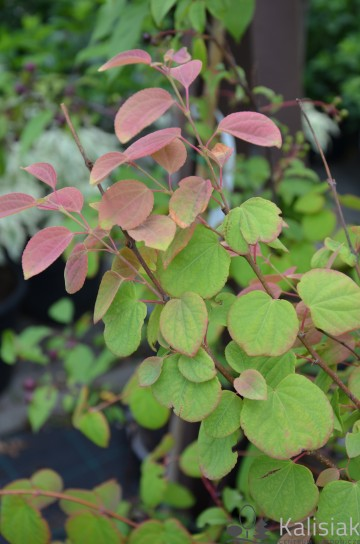 Cercidiphyllum japonicum 'Heronswood Globe' (Grujecznik japoński) - C5