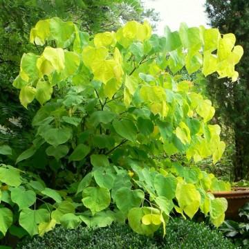 Cercis canadensis 'Hearts of Gold' (Judaszowiec kanadyjski) - C5