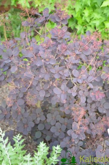 Cotinus coggygria 'Royal Purple' (Perukowiec podolski) - C3