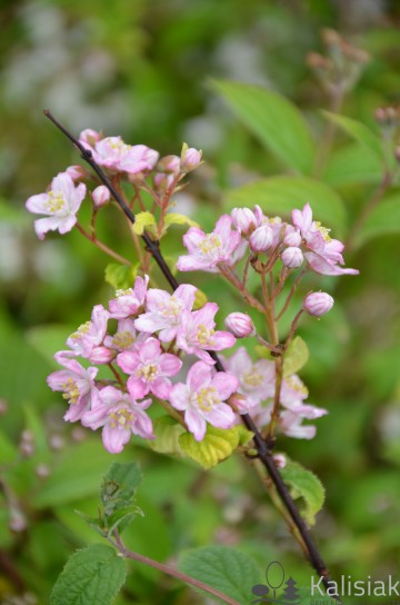Deutzia elegantissima 'Rosealind' (Żylistek przepiękny) - C3