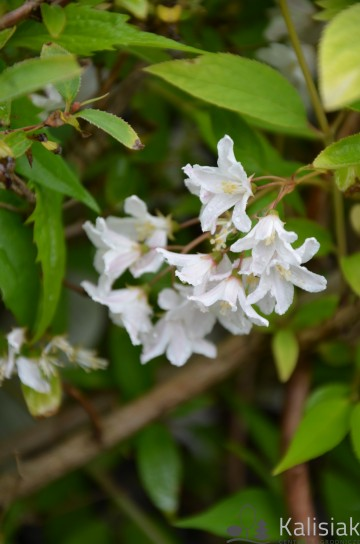 Deutzia rosea 'Campanulata' (Żylistek różowy) - C3