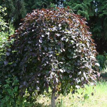 Fagus sylvatica 'Atropurpurea Nana'