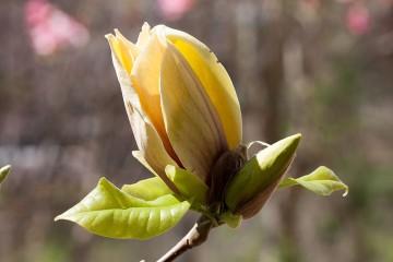 Magnolia x brooklynensis 'Hattie Carthan' (Magnolia brooklińska) - C5