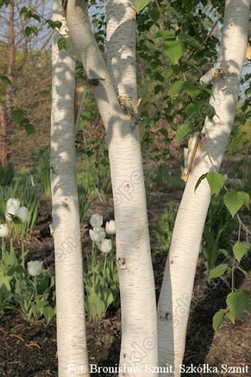 Betula 'White Light' (Brzoza) - C5