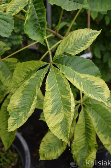 Aesculus x carnea 'Marginata' (Kasztanowiec czerwony) - C5