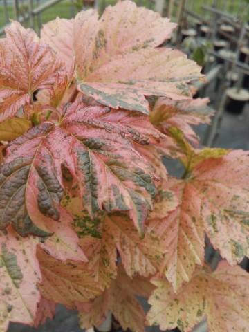 Acer pseudoplatanus 'Hermitage' (Klon jawor) - C7,5 PA