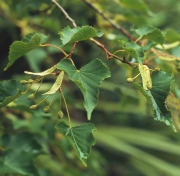 Tilia amurensis (Lipa amurska) - C5