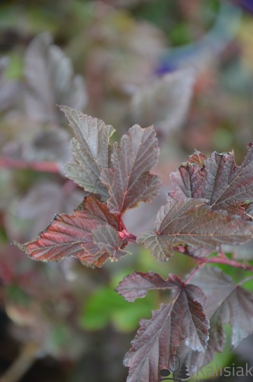 Physocarpus opulifolius 'Summer Wine' (Pęcherznica kalinolistna) - C5