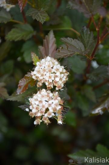 Physocarpus opulifolius TINY WINE 'Smpotw' (Pęcherznica kalinolistna) - C7,5