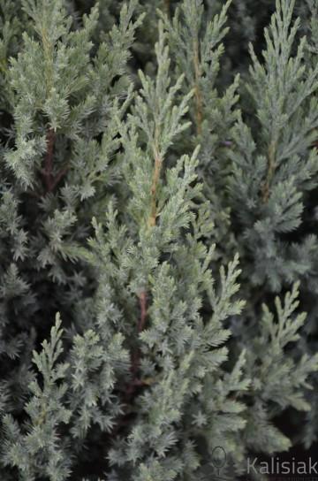 Juniperus chinensis 'Stricta' (Jałowiec chiński) - C3
