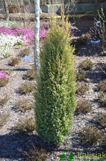 Juniperus communis 'Gold Cone' (Jałowiec pospolity) - C3