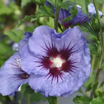 Hibiscus syriacus ULTRAMARINE 'Minultra' (Ketmia syryjska) - C6