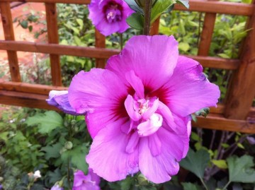 Hibiscus syriacus ERUPTION 'Mineru' (Ketmia syryjska) - C6