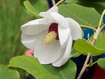 Magnolia 'Pride of Norway' (Magnolia) - C5