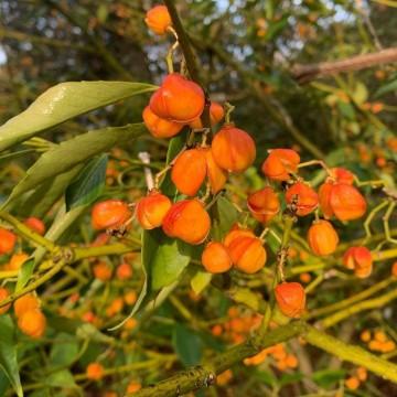 Euonymus myrianthus (Trzmielina wielokwiatowa) - C5