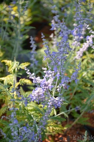 Perovskia atriplicifolia 'Blue Spire' (Perowskia łobodolistna) - C2
