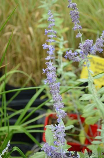 Perovskia atripliciifolia SILVERY BLUE 'Lissvery' (Perowskia łobodolistna) - C3