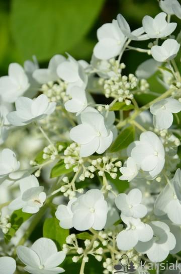 Hydrangea paniculata 'White Moth' (Hortensja bukietowa) - C5 PA