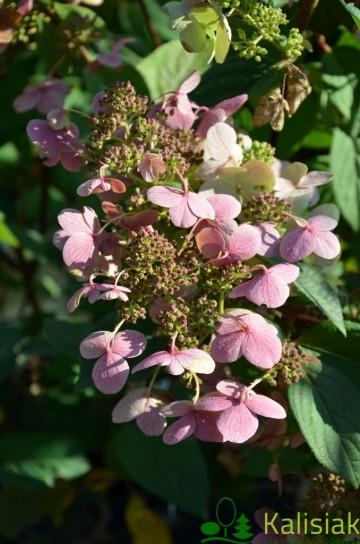 Hydrangea paniculata EARLY SENSATION 'Bulk' (Hortensja bukietowa) - C5 PA
