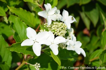 Hydrangea paniculata MAGICAL STARLIGHT 'Kolmastar' (Hortensja bukietowa) - C5 PA