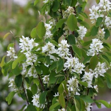Amelanchier alnifolia 'Obelisk' (Świdośliwa olcholistna) - C5