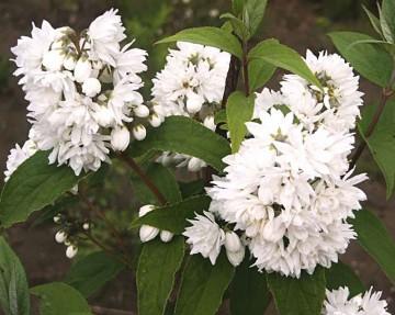 Deutzia scabra 'Candidissima' (Żylistek szorstki) - C5