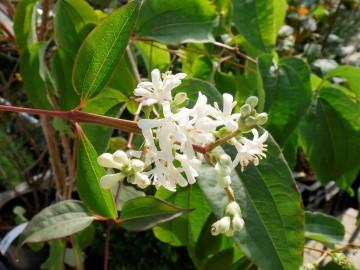 Heptacodium miconioides TIANSHAN 'Minhep' (Heptakodium chińskie) - C5
