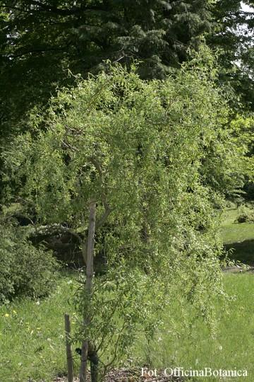 Salix babylonica 'Tortuosa' (Wierzba babilońska) - C3