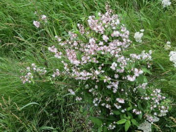 Deutzia scabra 'Codsall Pink' (Żylistek szorstki) - C3