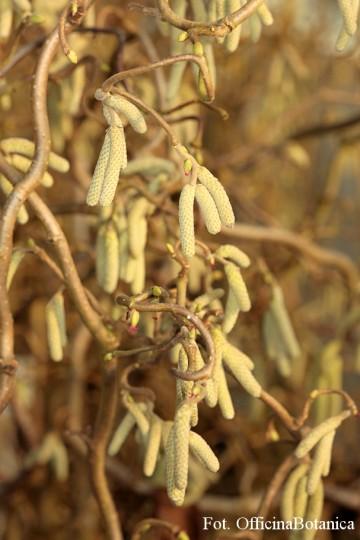 Corylus avellana 'Contorta' (Leszczyna pospolita) - C7.5