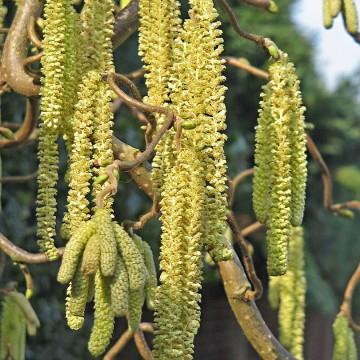 Corylus avellana 'Scooter' (Leszczyna pospolita) - C7.5