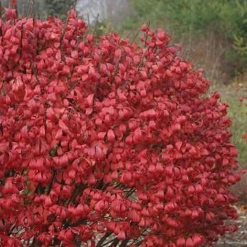 Euonymus alatus 'Unforgettable Fire' (Trzmielina oskrzydlona) - C5