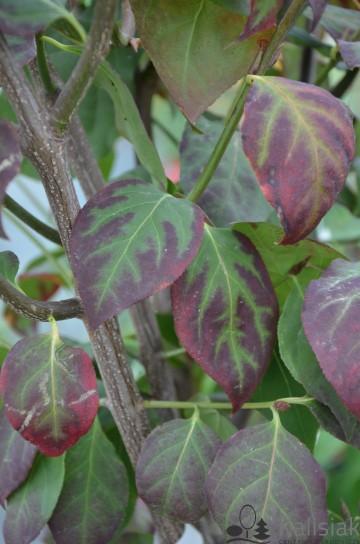 Euonymus phellomanus (Trzmielina płaskoogonkowa) - C5