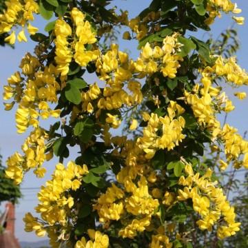 Laburnum anagyroides 'Yellow Rocket' (Złotokap pospolity) - C5