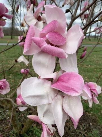 Magnolia 'Felicity' (Magnolia) - C5