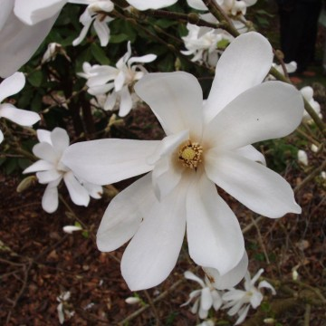 Magnolia loebneri 'Donna' (Magnolia Loebnera) - C5