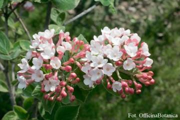 Viburnum carlesii (Kalina koreańska) - C5