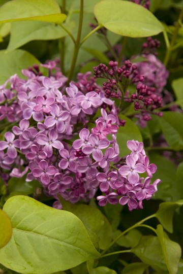 Syringa x hyacinthiflora 'Pocahontas' (Lilak hiacyntowy) - C5