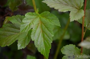 Physocarpus opulifolius 'Zdechovice' (Pęcherznica kalinolistna) - C3