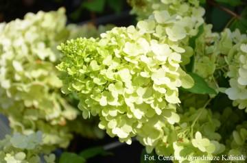 Hydrangea paniculata MAGICAL MOONLIGHT 'Kolmagimo' (Hortensja bukietowa) - C6