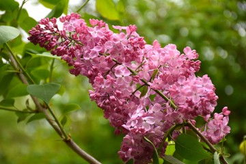Syringa x hyacinthiflora 'Maiden's Blush' (Lilak hiacyntowy) - C5